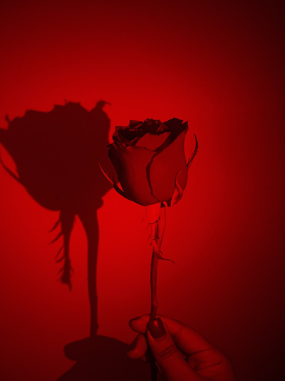 red rose with red background