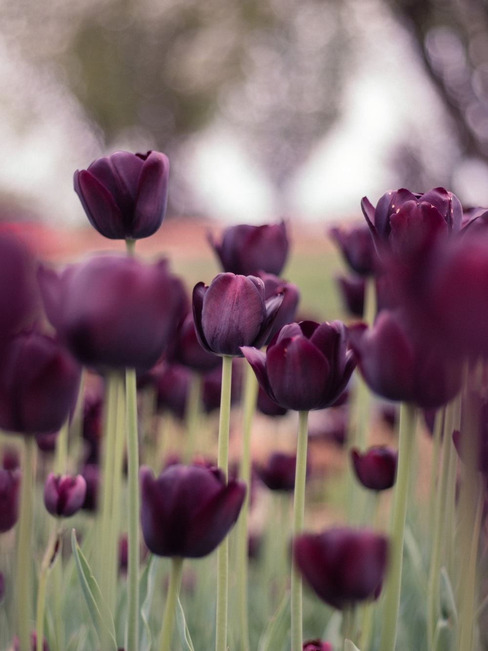 purple tulips in bloom during daytime