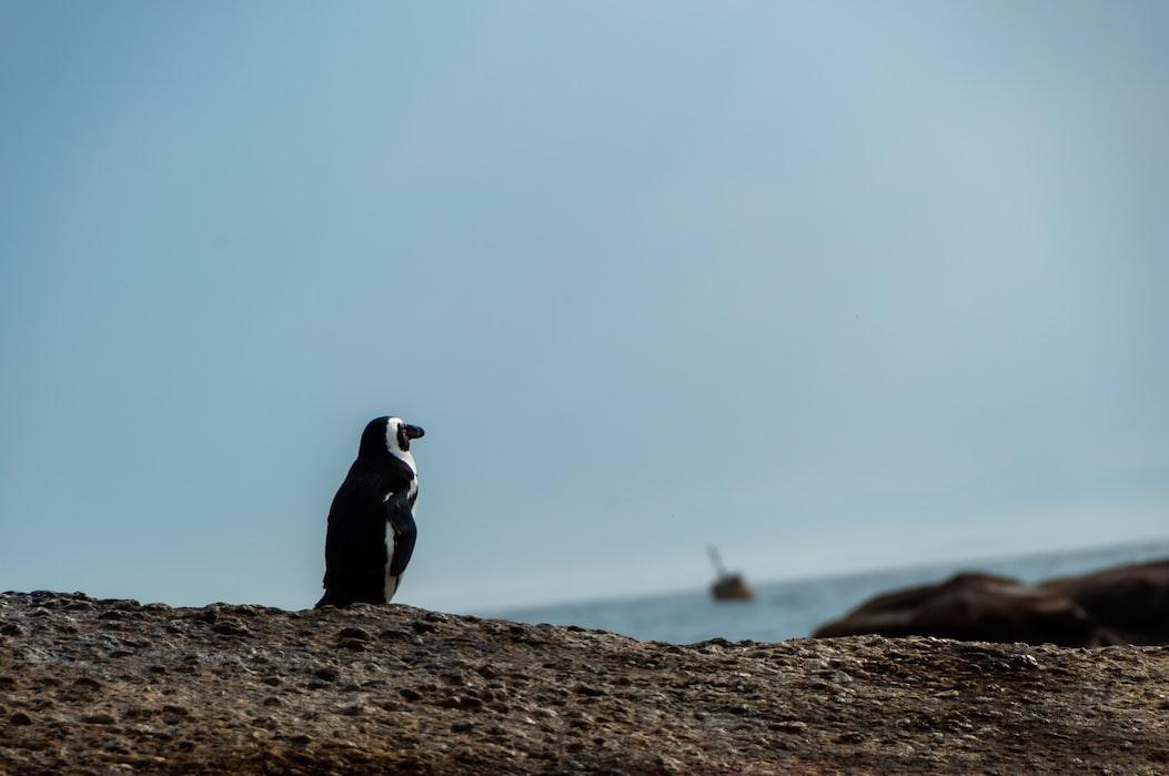 Penguins on the Boulder's beach