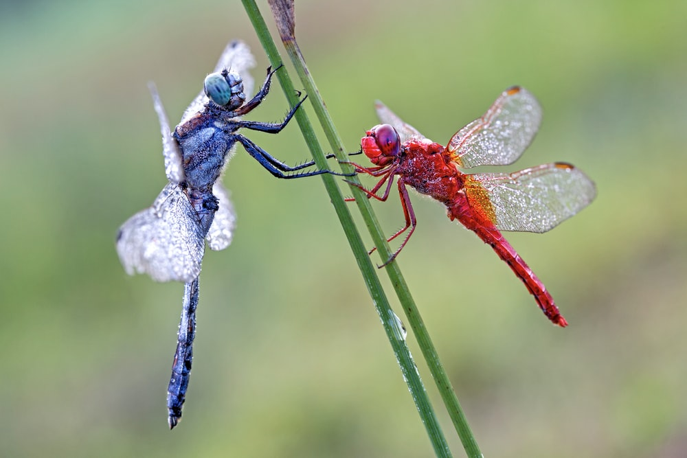 red dragonfly perched on blue flower in close up photography during daytime