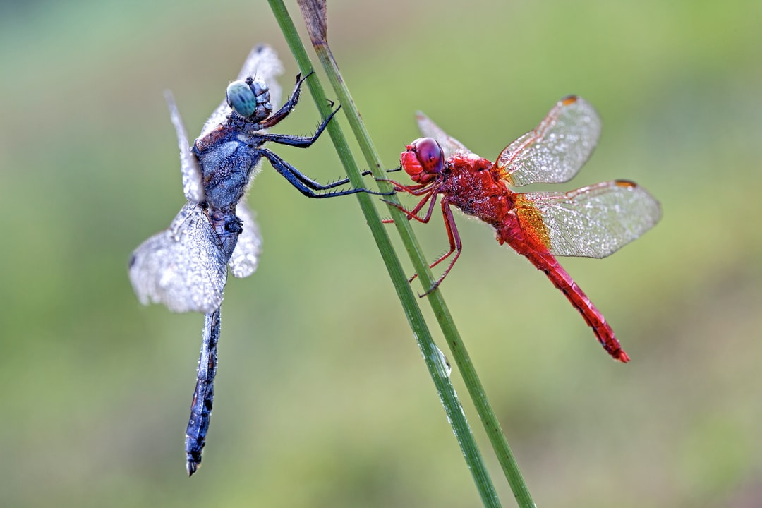 Eastern Blue Tail Dragonfly & Fire dragonfly