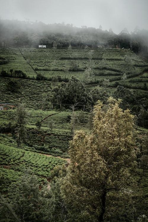 Pedro Tea Estate