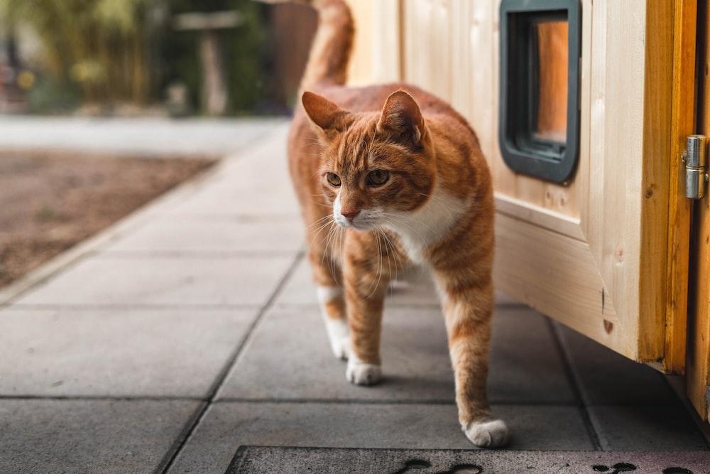 orange and white tabby cat on gray concrete floor