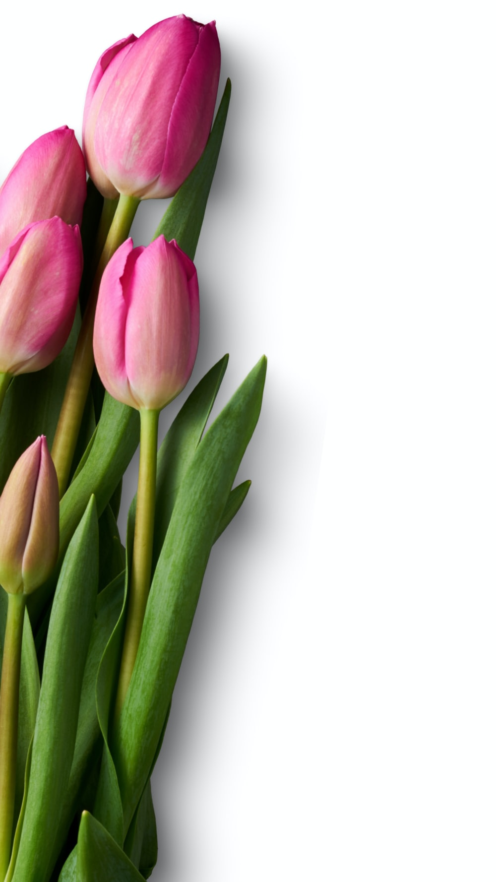 pink tulips on white surface