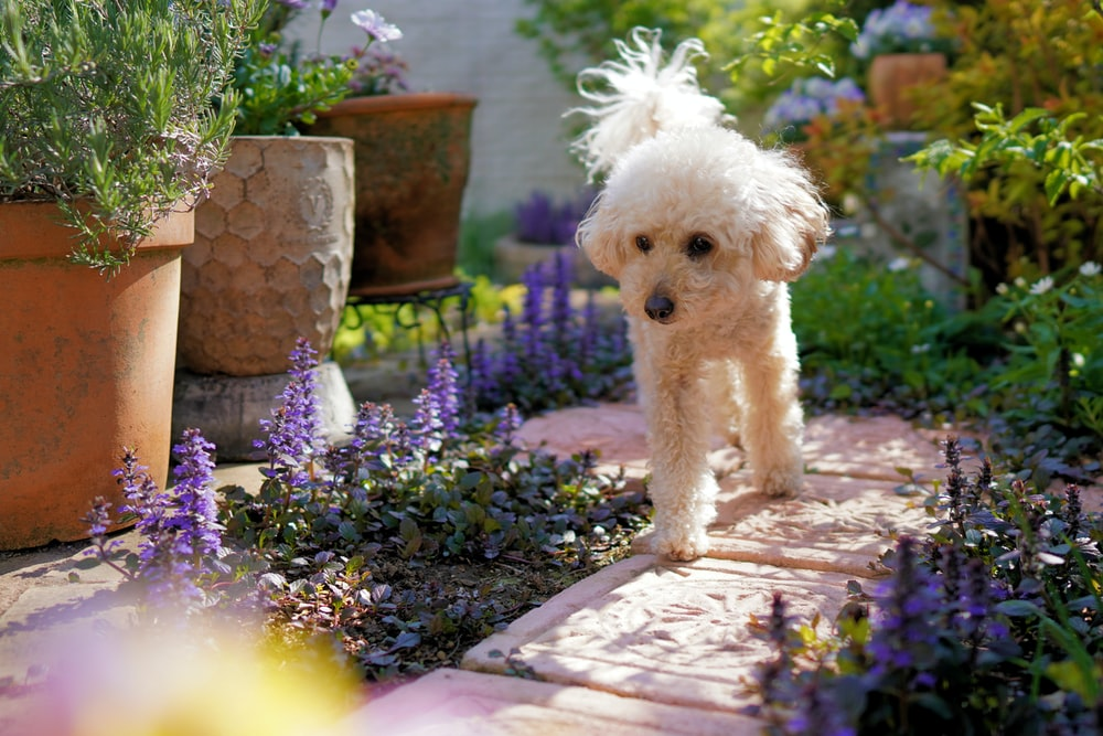 white poodle on purple flower field during daytime