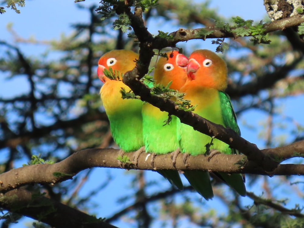 green yellow and red birds on brown tree branch