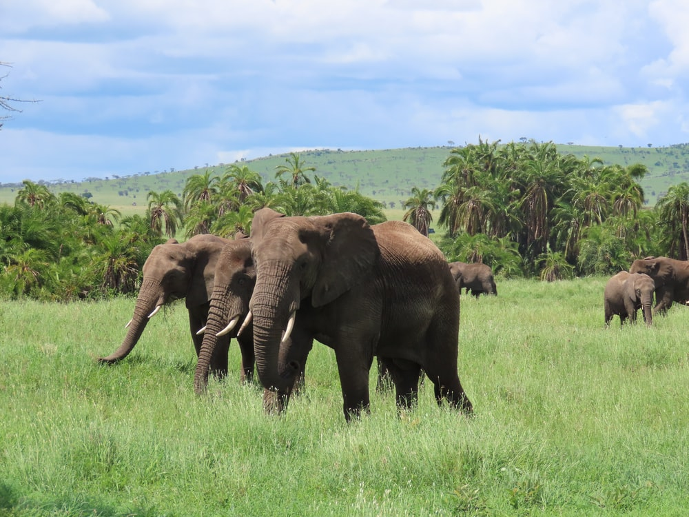 three brown elephants on green grass field during daytime