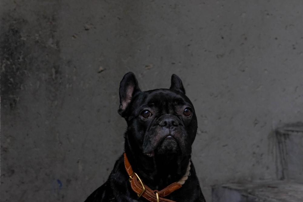 black pug with orange collar