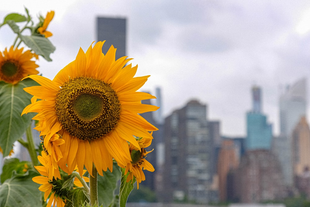 sunflower in front of city buildings during daytime