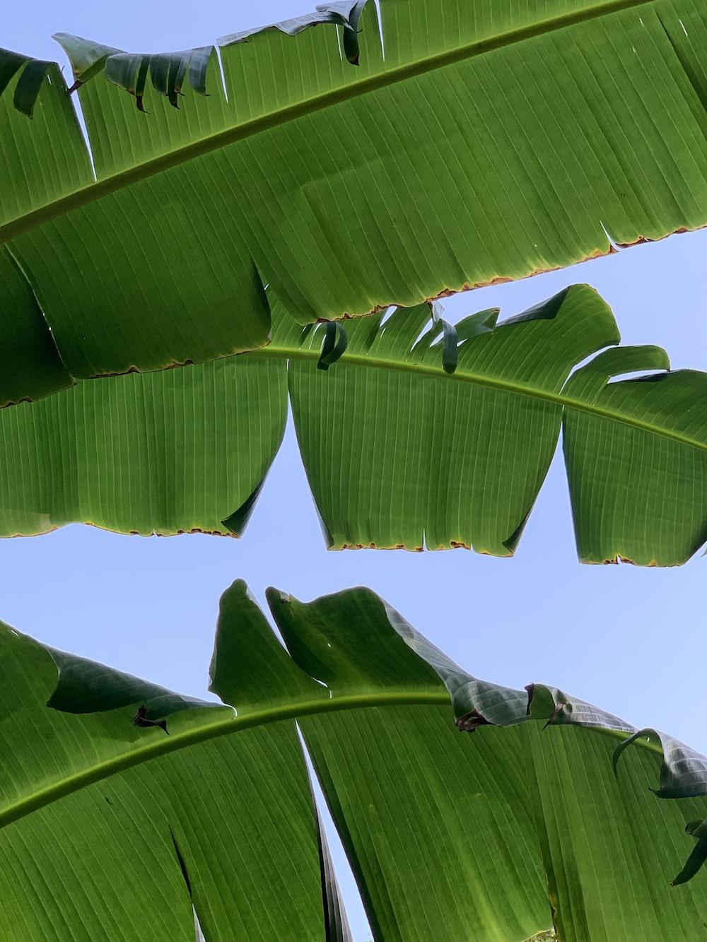 banana tree under blue sky during daytime