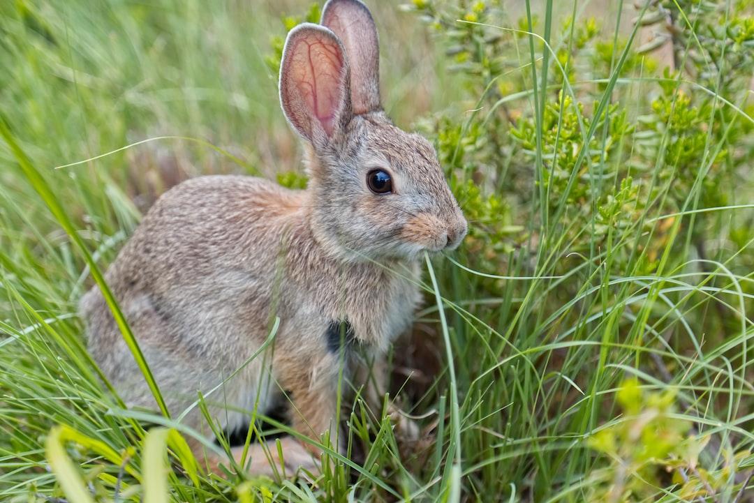 Bunny Munching Grass