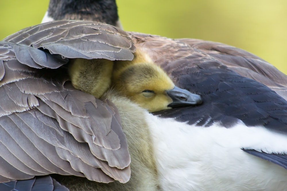 brown and white duck in close up photography