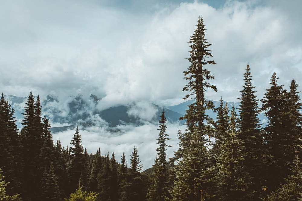 green pine trees under white clouds