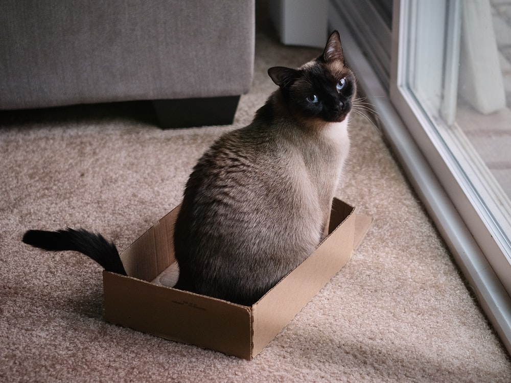 black and white cat in brown cardboard box