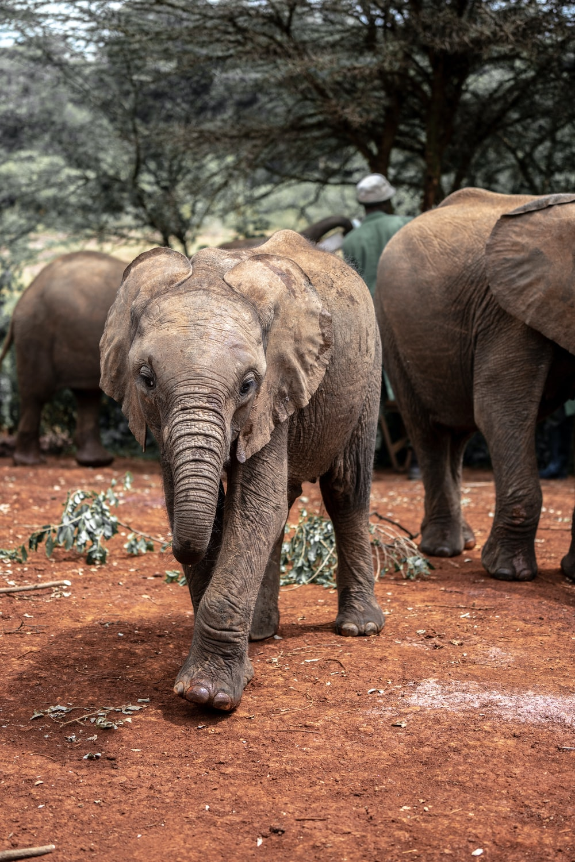 brown elephant walking on brown dirt during daytime