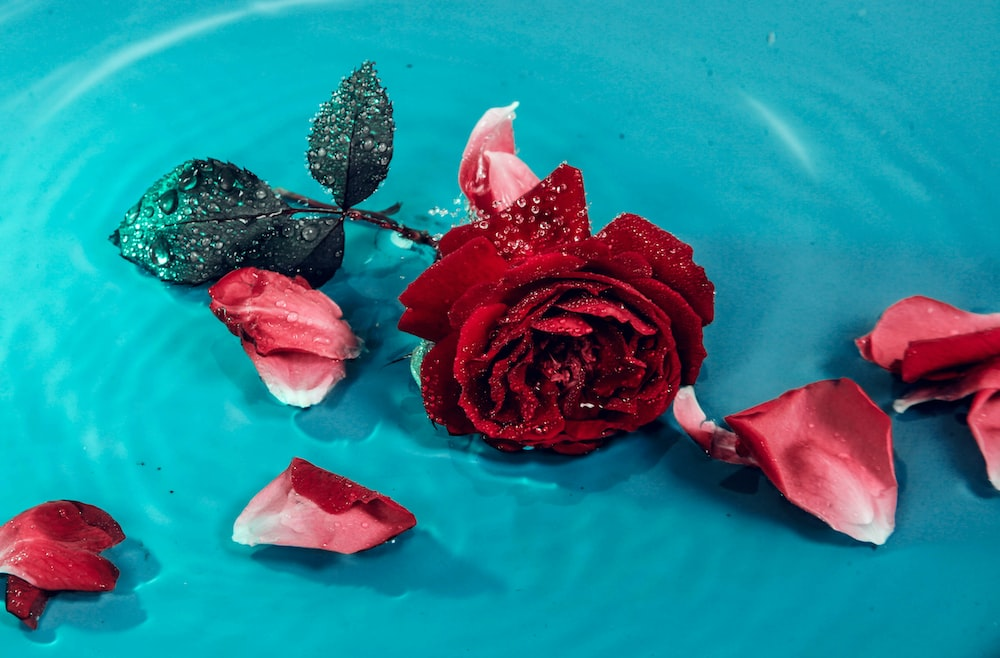 red rose on blue textile