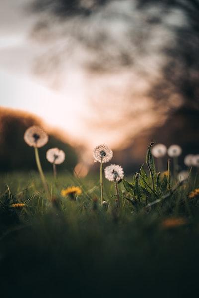 white dandelion in green grass field during daytime