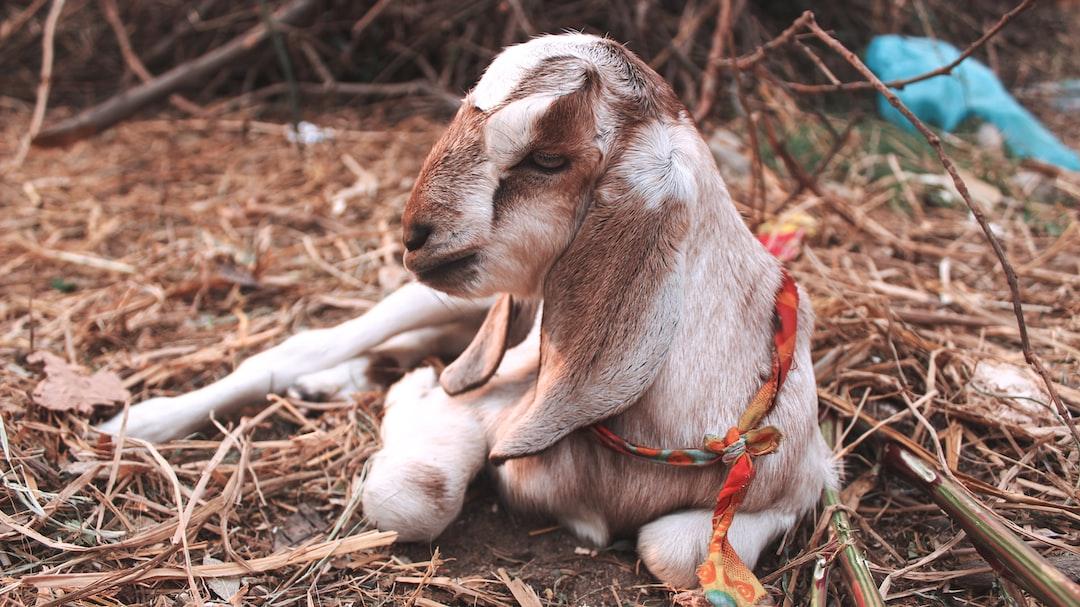 Beautiful little kid of goat