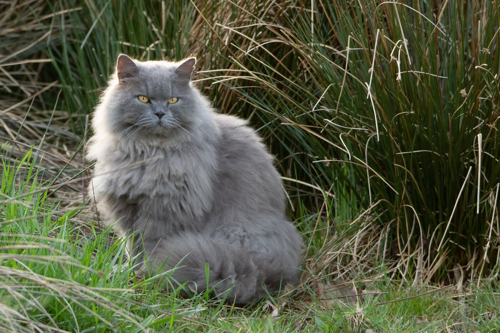 gray persian cat on green grass