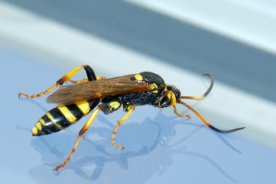 yellow and black wasp on white surface invertebrate teams background