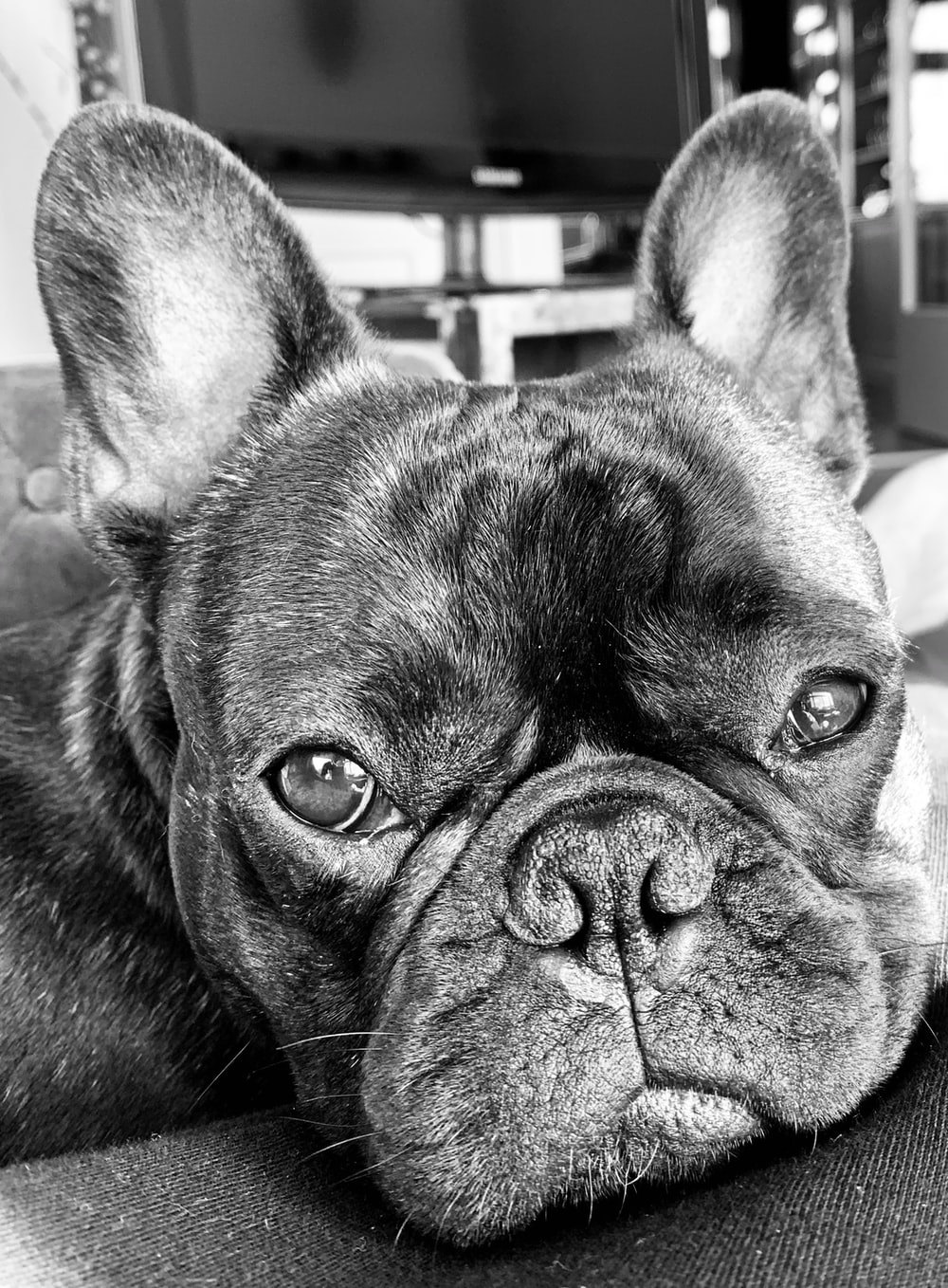 black french bulldog in grayscale photography