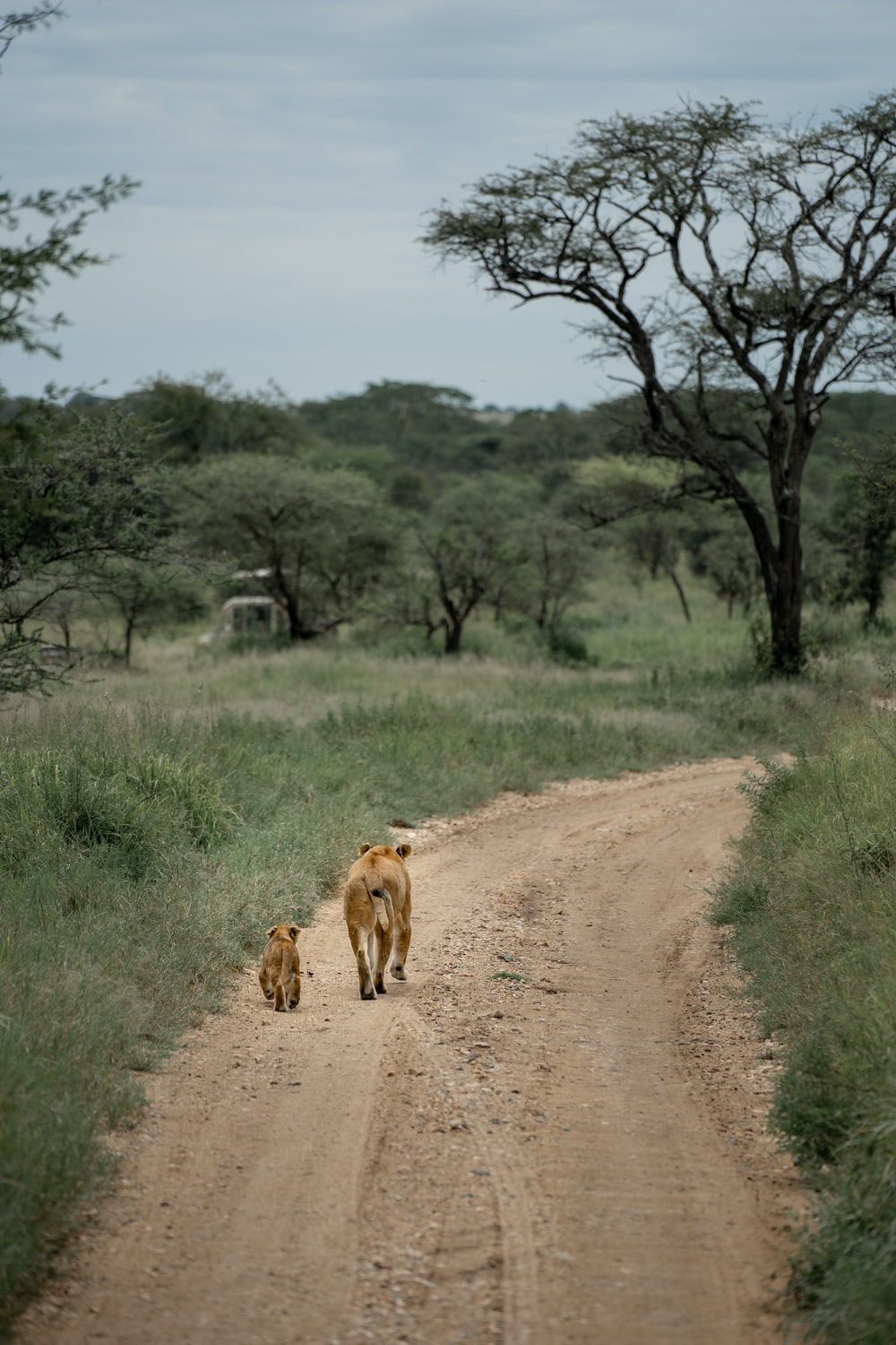 brown lioness walking on dirt road during daytime