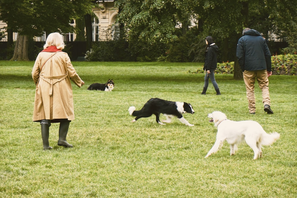 woman in brown coat walking with white and black short coat medium dog on green grass