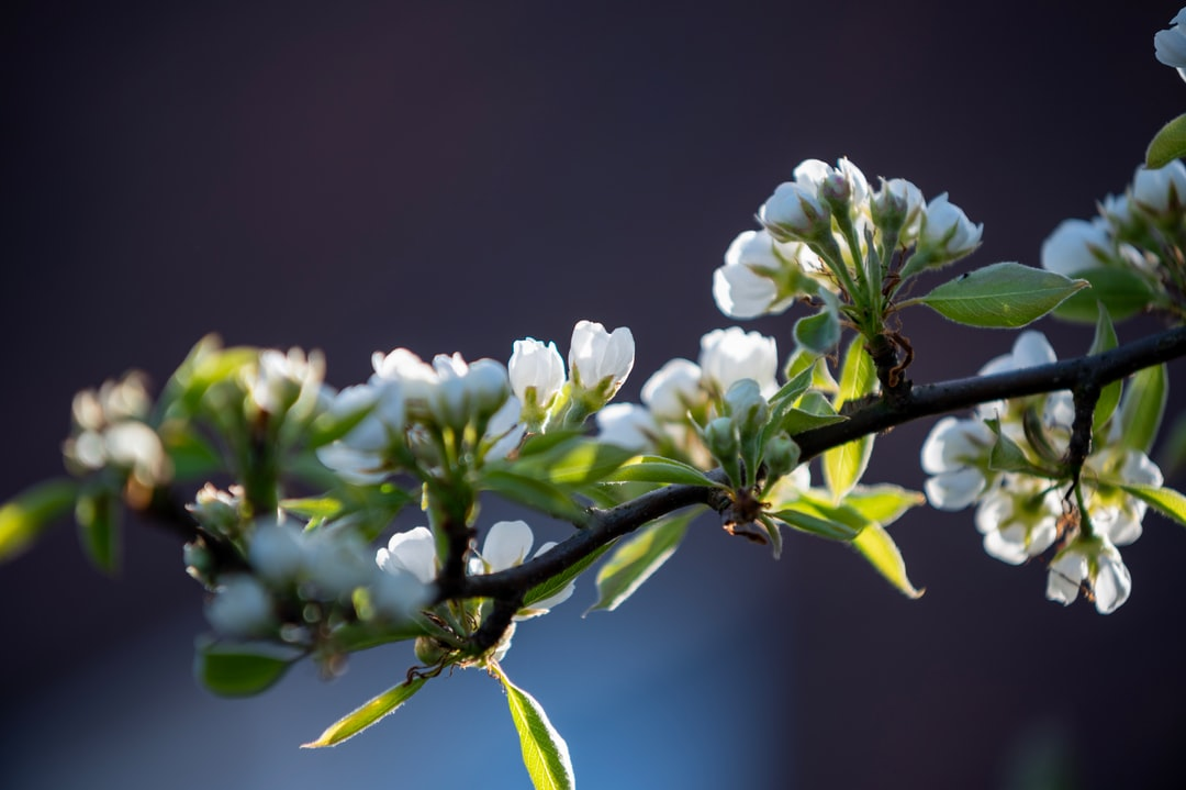 Blossom of a pear tree sitting nicely in the late afternoon sun