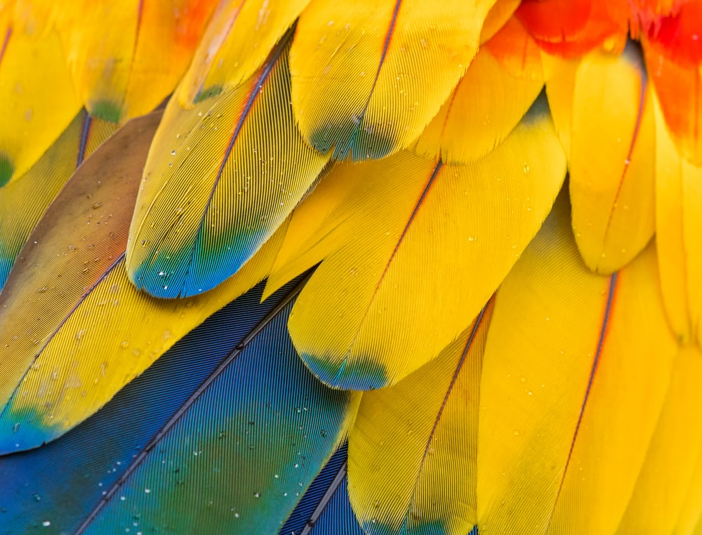 yellow blue and red birds of paradise flower