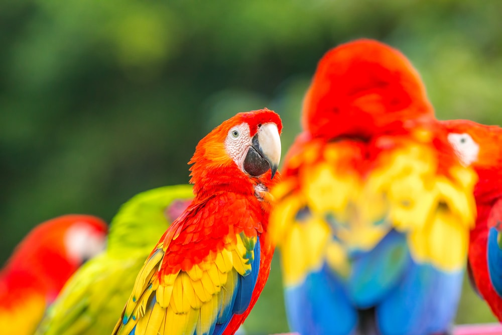 red yellow blue and green parrot