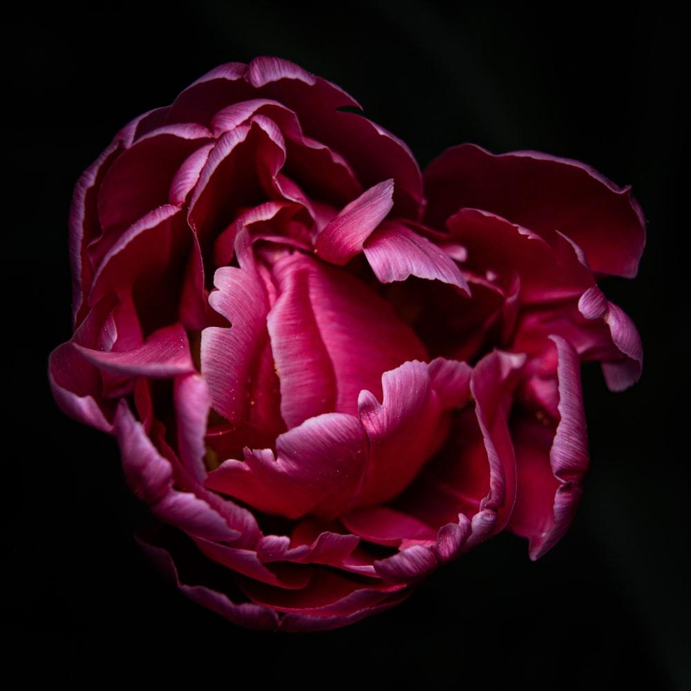 red rose in black background