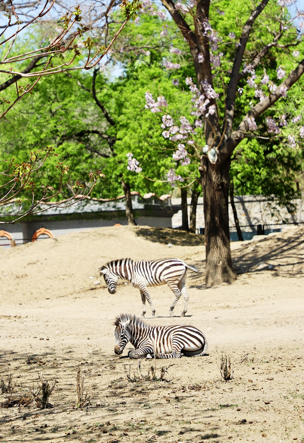 zebra standing on brown sand near green trees during daytime