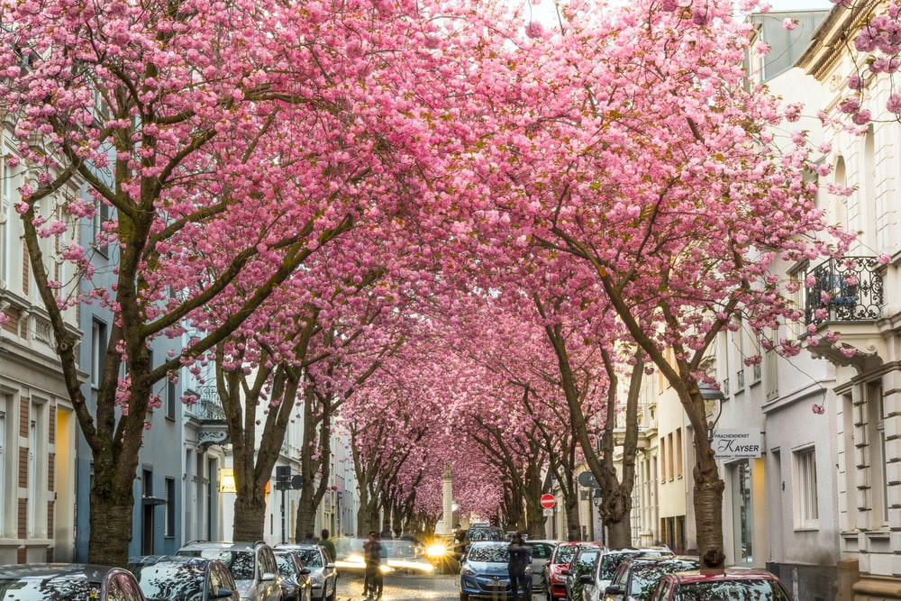 pink cherry blossom tree near cars parked on street during daytime