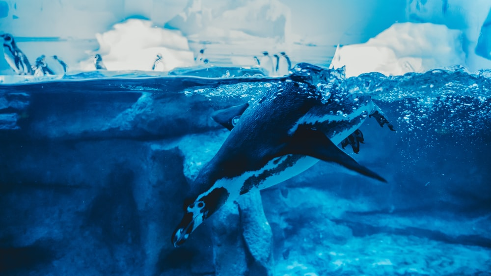 black and white penguin in water