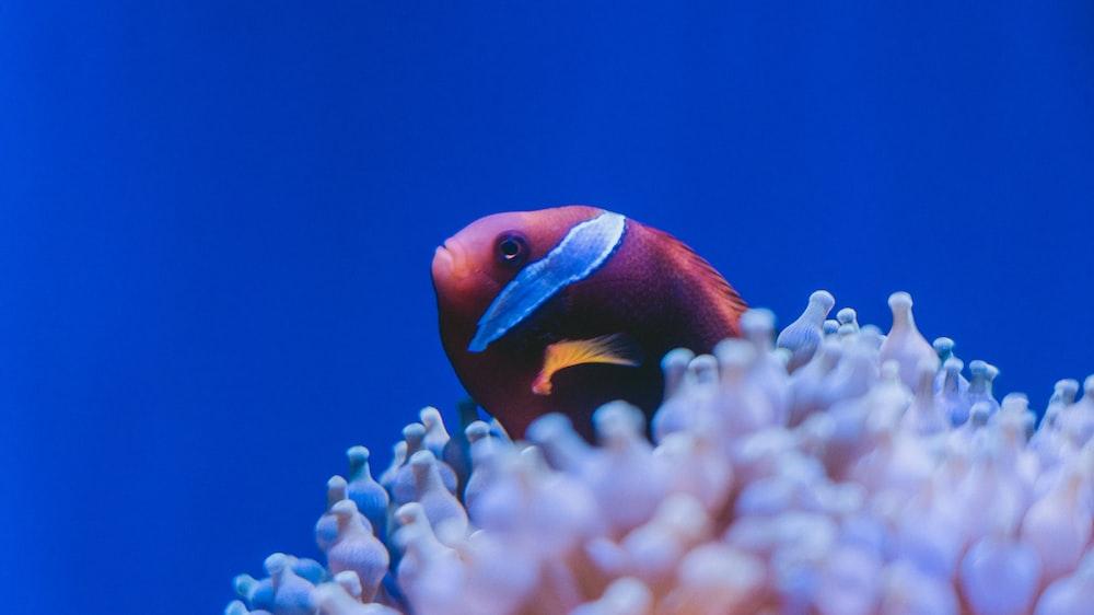 orange and white clown fish