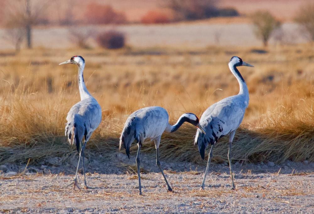 2 gray birds on brown grass field during daytime