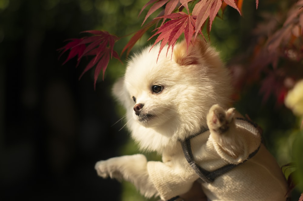 white pomeranian puppy with red and white leash