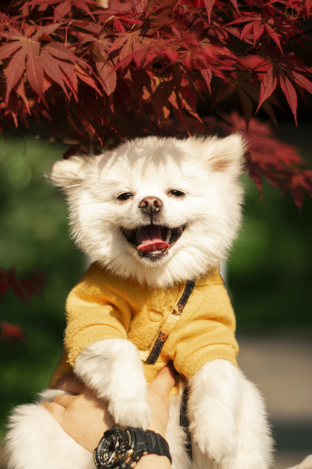 white pomeranian puppy wearing yellow and red coat