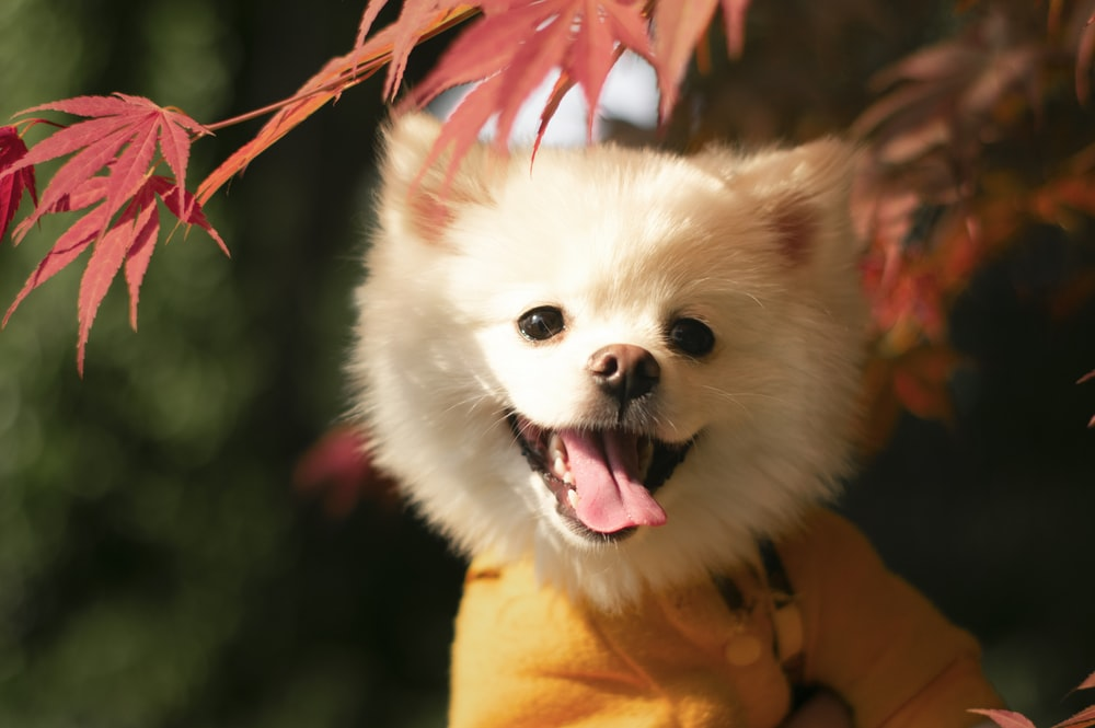 white pomeranian puppy with red and white ribbon on mouth