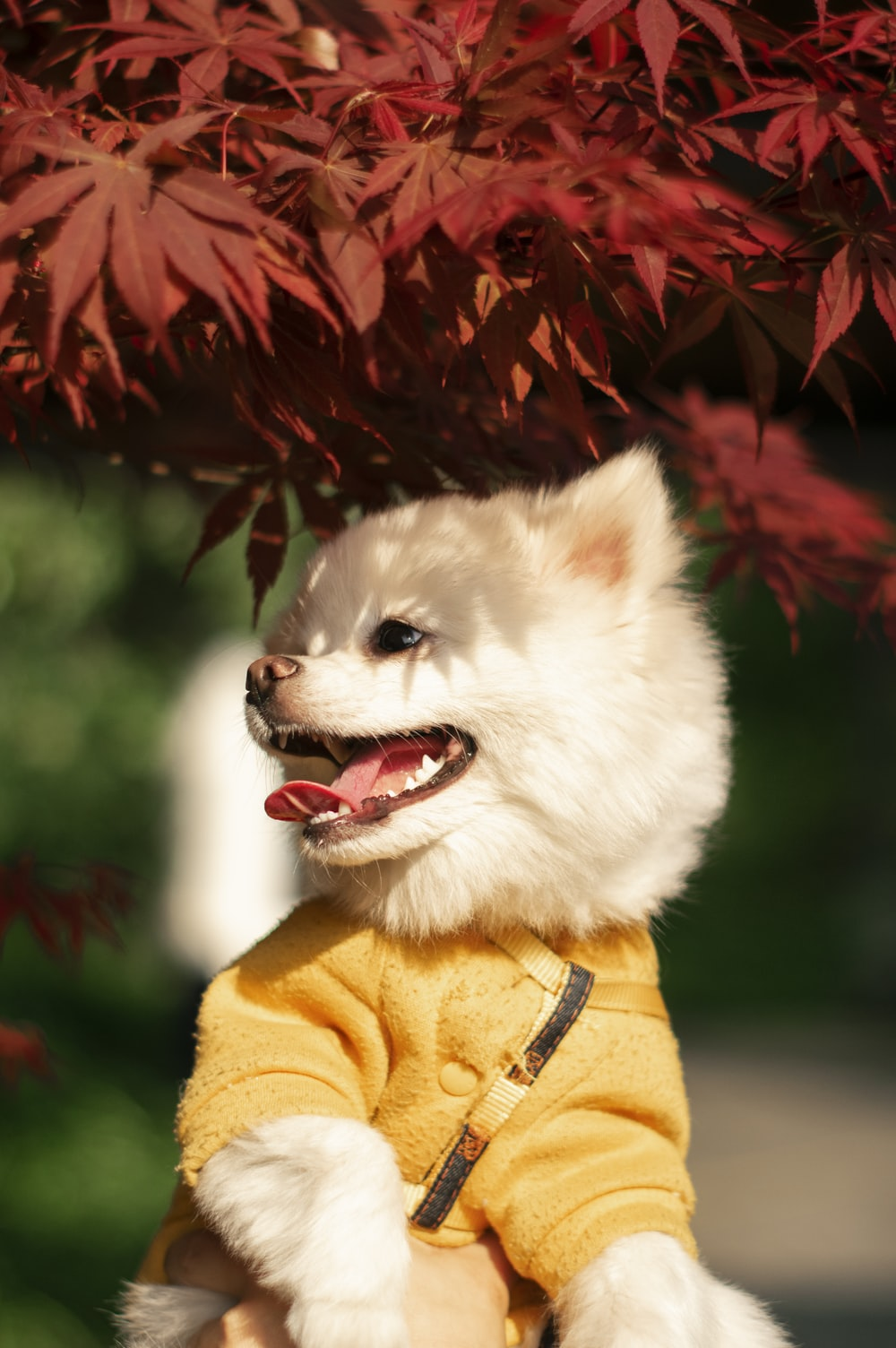 white pomeranian in yellow and red coat