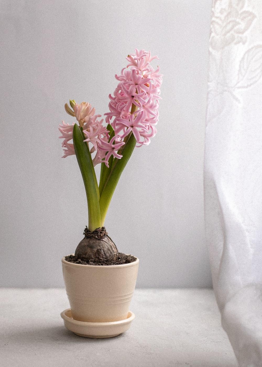 purple flowers in white ceramic pot