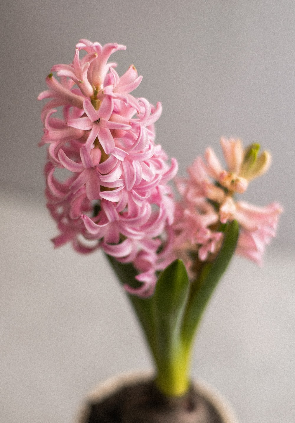 pink and white flower in close up photography