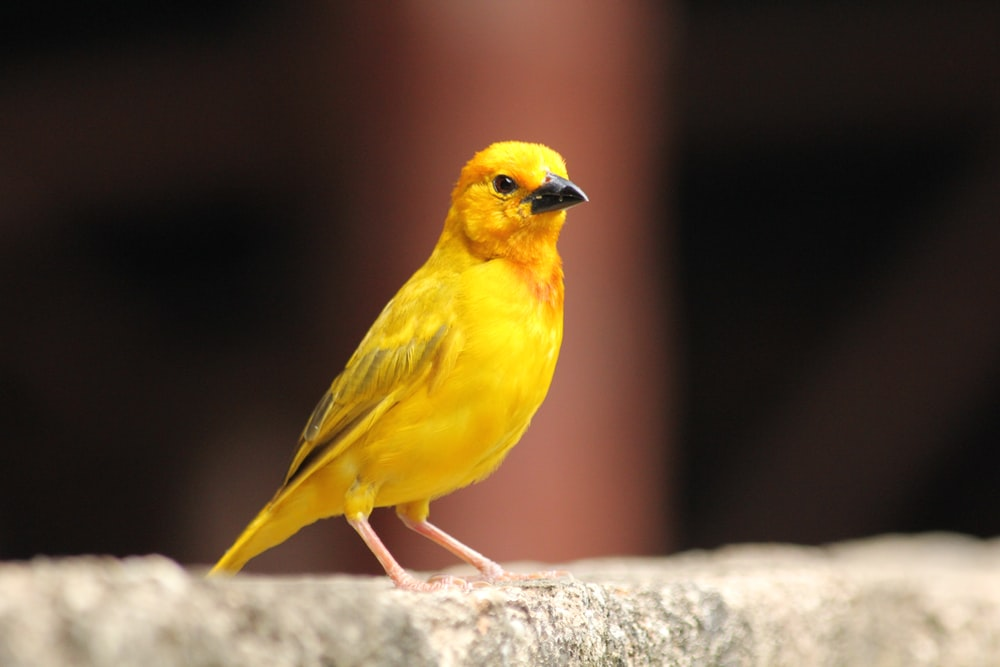 yellow and black bird on gray rock
