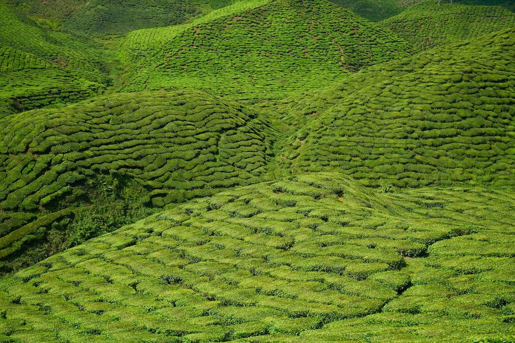 Gaharu tea valley malaysia