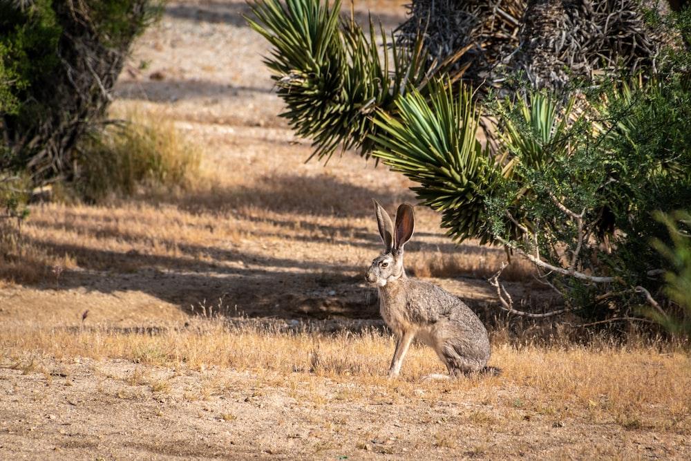 brown rabbit on brown field during daytime