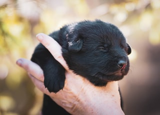 black short coated puppy on persons hand