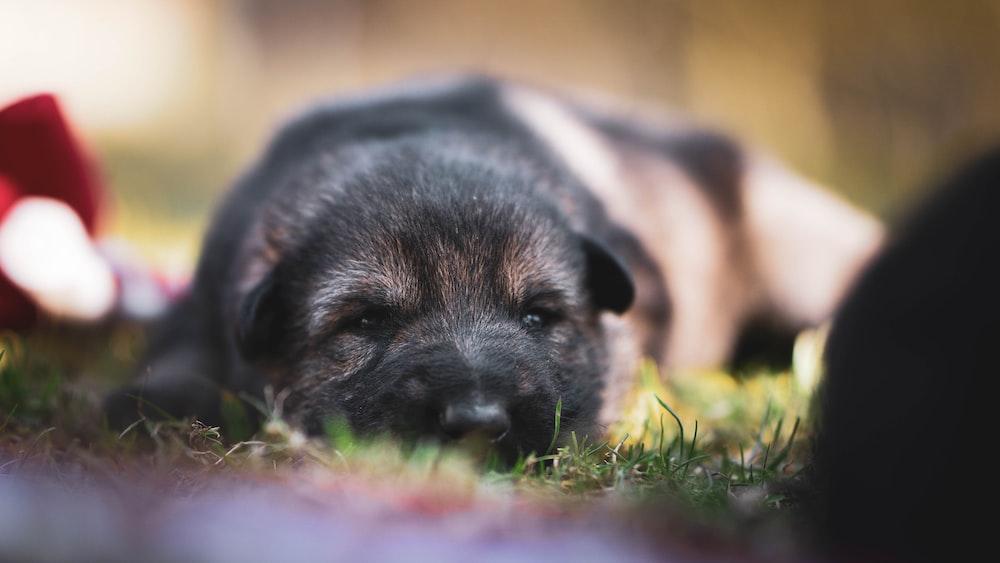 black and tan short coat medium sized dog lying on green grass during daytime