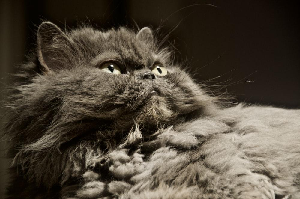 gray and black long fur cat