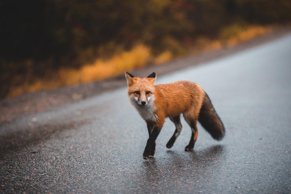 brown fox on gray asphalt road during daytime
