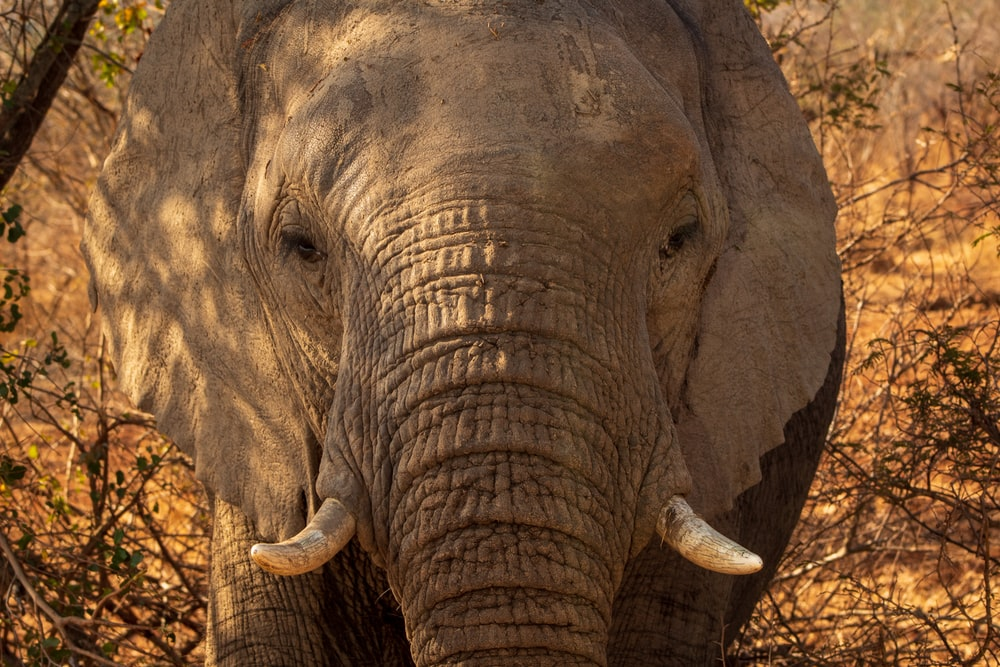 grey elephant in close up photography